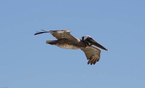 Pelican overhead!