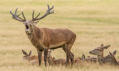 Red Deer Stag with his does!