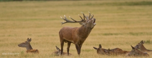 Stag in Rut