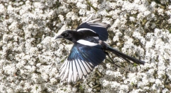 Magpie over Blackthorne