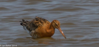 Black Tailed Godwit
