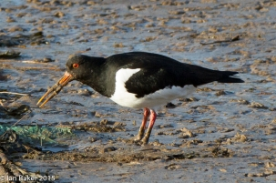 Oyster Catcher (2)