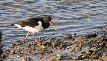 Oyster Catcher (3)
