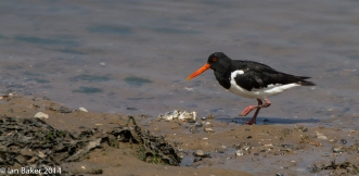 Oyster Catcher Blakeney