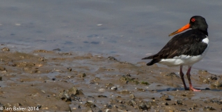 Oyster Catcher Norfolk