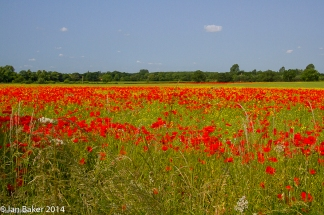 Poppy Fiels Norfolk