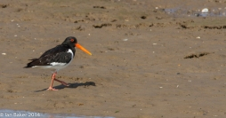 Wells NTS Oyster Catcher (3)