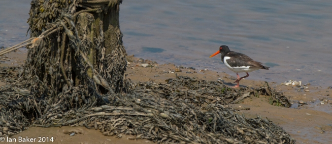 Wells NTS Oyster Catcher (4)
