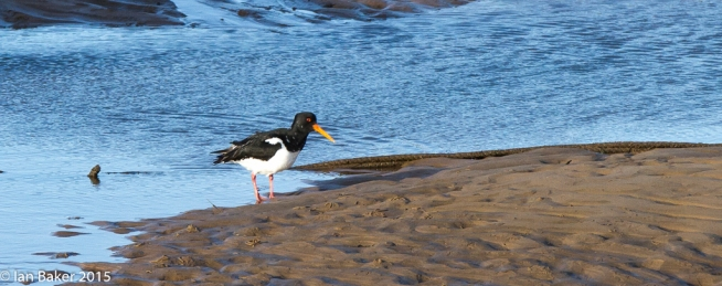 Wells NTS Oyster Catcher