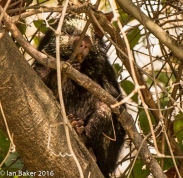 Mexican Tree Porcupine
