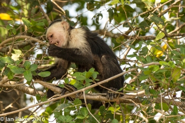 White-Faced Monkey