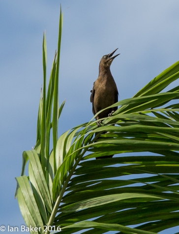 Great -tailed Grackle