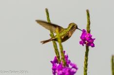 Hummingbird Canivet's Emerald