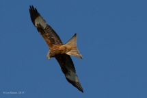 Red Kite Smiths Lawn